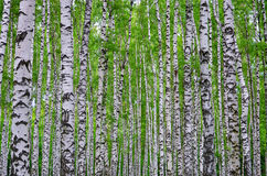Witte berkbomen in het bos in de zomer, groen gras Royalty-vrije Stock Foto's