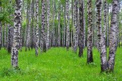 Witte berkbomen in het bos in de zomer, groen gras Stock Fotografie