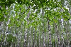 Witte berkbomen in het bos in de zomer, groen gras Stock Afbeelding
