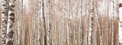 Witte berkbomen met mooie berkeschors Stock Foto's