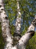 Witte berkboom Stock Fotografie