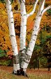 Witte Berkboom in de Herfst Stock Afbeelding