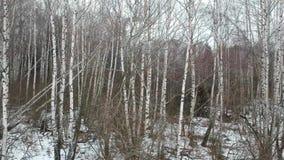 witte berken in de winter stock videobeelden