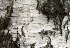 Witte berkeschors, achtergrond van de close-up de natuurlijke textuur Stock Foto