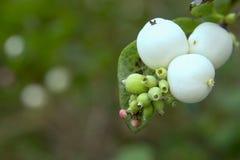 Witte bessen stock afbeelding