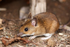 Witte betaalde muis in de lente Royalty-vrije Stock Afbeelding