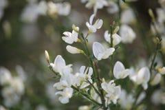 Witte bezembloemen royalty-vrije stock afbeeldingen