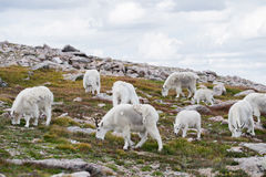 Witte Big Hornschapen - Rocky Mountain Goat Stock Afbeelding