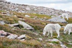 Witte Big Hornschapen - Rocky Mountain Goat Royalty-vrije Stock Foto's