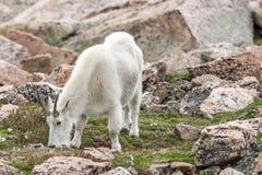 Witte Big Hornschapen - Rocky Mountain Goat Royalty-vrije Stock Foto