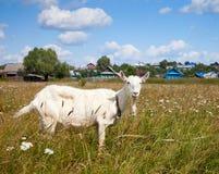 Witte binnenlandse geit Stock Afbeelding