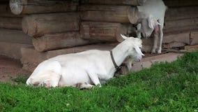 Witte binnenlandse geit die op het gras liggen stock footage