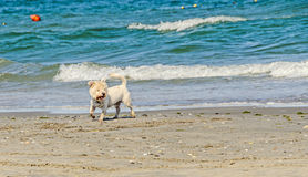 Witte bishonhond die op het strand dichtbij blauwe watergolven lopen Royalty-vrije Stock Foto's