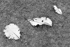 Witte bladeren op grijs grasveld Stock Foto's