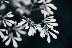 Witte bladeren in zwart-wit met zwarte achtergrond Royalty-vrije Stock Fotografie
