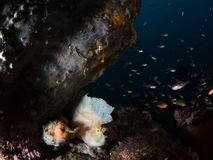 Witte bladscorpionfish, Taenianotus-triacanthus royalty-vrije stock afbeelding