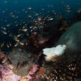 Witte bladscorpionfish, Taenianotus-triacanthus royalty-vrije stock fotografie
