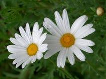 Witte Bloeiende Bloem met Regendruppels op het Bloemblaadje Royalty-vrije Stock Afbeelding