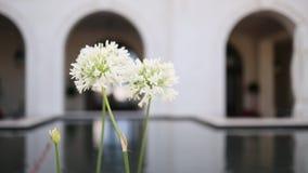 Witte bloeiende bloemen Agapanthus dichtbij Regenthotel in Porto Mo stock video