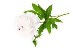 Witte bloeiende die pioen op witte achtergrond wordt geïsoleerd royalty-vrije stock foto's