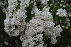 Witte bloeiende haag Royalty-vrije Stock Afbeeldingen