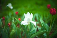 Witte bloeiende tulp royalty-vrije stock afbeelding