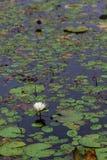 witte bloeiende waterlelie in de diepe blauwe verticaal van het vijverwater royalty-vrije stock afbeelding