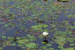 witte bloeiende waterlelie in diep blauw vijverwater royalty-vrije stock afbeeldingen