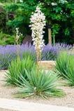 Witte bloeiende yucca Stock Fotografie
