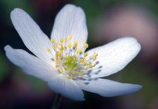 Witte bloem stock foto
