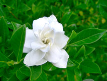 Witte Bloem 2 Royalty-vrije Stock Foto