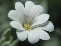 Witte bloem Stock Afbeelding