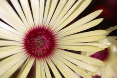 Witte bloem Stock Afbeeldingen