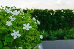 Witte bloem Stock Foto's