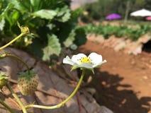 Witte bloem Royalty-vrije Stock Foto's