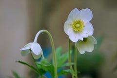 Witte bloem Royalty-vrije Stock Afbeeldingen