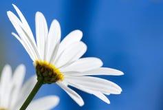 Witte bloem Argyranthemum op blauwe hemel royalty-vrije stock afbeelding