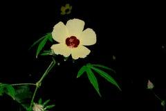 Witte bloem, bloem van een uur of blaasketmia, hibiscus in de tuin, Royalty-vrije Stock Fotografie