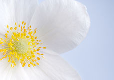 Witte bloem, close-up Royalty-vrije Stock Fotografie