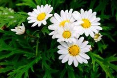 Witte bloem in de tuin royalty-vrije stock afbeelding