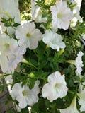 Witte bloem in de tuin stock afbeelding