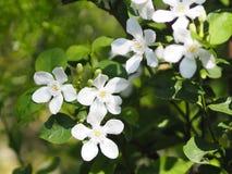 Witte bloem in de tuin stock fotografie