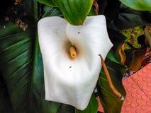 Witte bloem in de tuin voor decoratie stock afbeeldingen