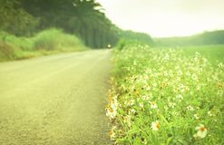 Witte bloem die bij landwegachtergrond bloeien stock foto's