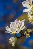 Witte bloem die in de zomer bloeien Stock Afbeelding