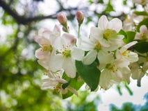 Witte bloem die op de boom bloeien Stock Afbeeldingen