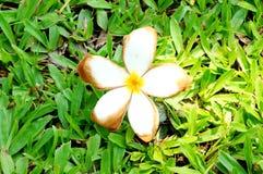 Witte bloem die op de grasveldachtergrond liggen Stock Foto