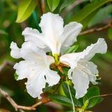 Witte bloem drie van rododendron Royalty-vrije Stock Fotografie