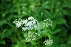 Witte bloem en een insect Stock Fotografie