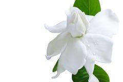 Witte bloem en het knippen weg, Gardenia jasminoides Royalty-vrije Stock Afbeeldingen
